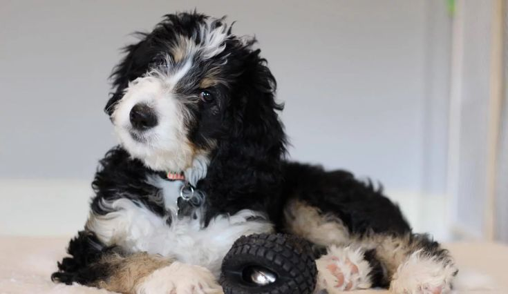 Bernedoodle Puppies for saleGreat Lakes BernedoodlesMichigan