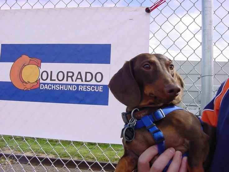 Colorado Dachshund Rescue Rescue & More Pinterest