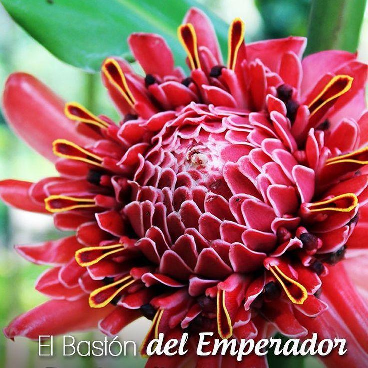 ¿Sabías qué el #BastónDelEmperador o Etlingera elatior además de ser una planta hermosa, sus hojas cuentan con propiedades antioxidantes y antibacteriales? Una razón más para tenerlas.