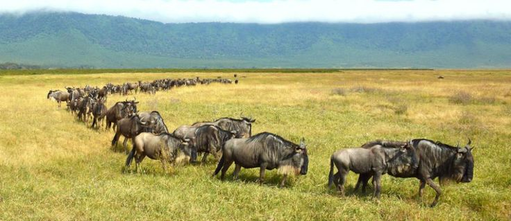 #SafariInKenya  is world famous for its wildlife and there is a greater diversity of large mammal species in EastAfrica than anywhere else on earth. For more check out @ http://www.kenya-safaris.co