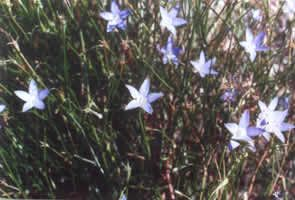 Wahlenbergia communis, tufted bluebell