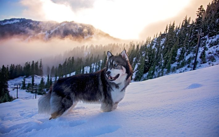 Download wallpapers Husky Dog, winter, pets, Husky, cute animals, Siberian Husky, dogs