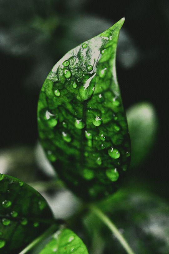 Zielone liście lata... Skąpane w słonecznym blasku Grające delikatne serenady z wiatrem Ukojenie dając mym spragnionym oczom Spokojem i radością ożywiacie me serce. (Maryla)