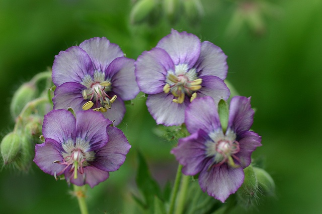 Hardy Geranium phaeum Lavender Pinwheel bareroot plant | eBay