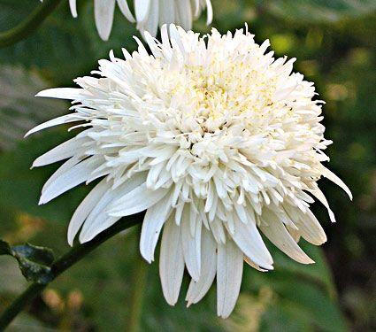 "Superbum Ice Star  Shasta Daisy 24"" height blooms July to September. Full sun."