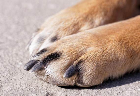 Dog Licking Paws | Cut Paw Pads | Dog Chewing Paws | Dog Paw Problems | petMD#