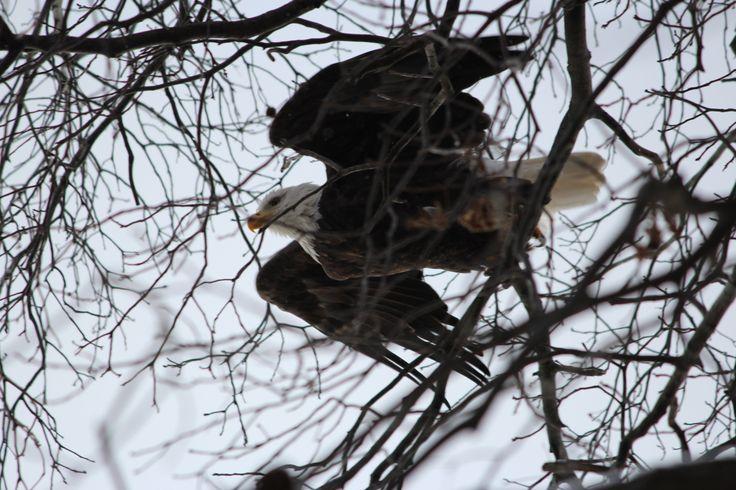 Culver Indiana Lake Maxinkuckee Bald Eagle