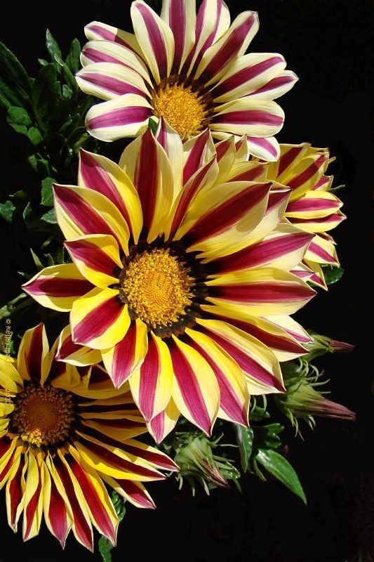 Gazania is native to South Africa where it is also known as 'treasure flower'. The best thing about this flower is that it is available in a variety strange pattern as well as bright and brilliant colors such as shades of pink, dark red, yellow and orange.   The petals of this wonderful flower come in single colors as well as in graded shades. This hardy beauty with its daisy like flowers certainly deserves a top spot in the list of most beautiful flowers in the world!
