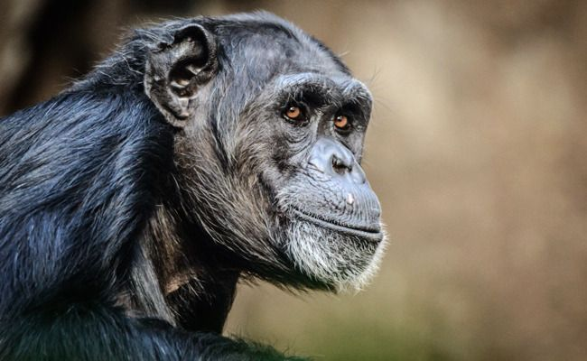 """HALLELUJAH!!!!!!!!!!! Success! 220 Research Chimps Will Be Released to a Sanctuary - """"We're making history here,"""" said Sarah Baeckler Davis, co-founder of Project Chimps. """"We're thrilled to partner with NIRC on this retirement of so many chimpanzees. It's an unprecedented collaboration and a momentous occasion for chimpanzees.""""  More than 20,000 Care2 members signed a petition asking the NIRC to release the research animals."""