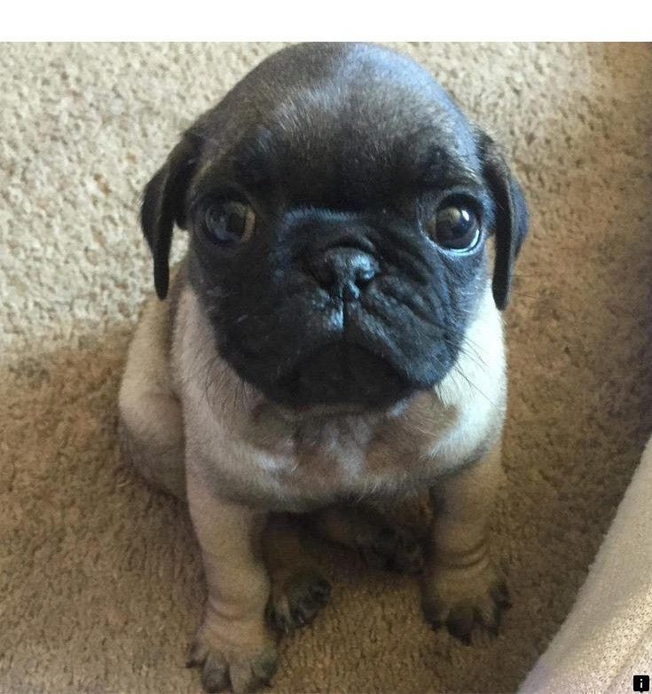 Learn About Where To Buy A Pug Click The Link For More Info