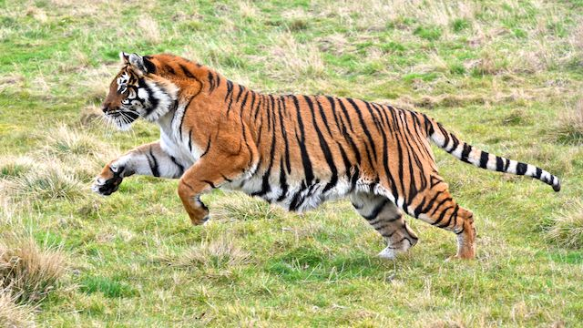 Bengal Tiger Running In 2020 Tiger Photography Tiger Images Bengal Tiger