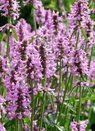 Image result for stachys officinalis rosea