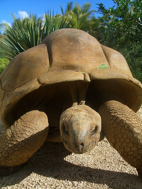 The Aldabra giant tortoise is 'vulnerable to extinction' and are being bred in captivity at La Vanille Reserve in the south of Mauritius. It's been claimed that giant tortoises can live up to 250 years... but we guess no one has lived that long to be able to record it!