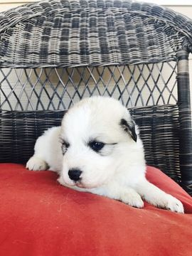 Litter Of 9 Great Pyrenees Puppies For Sale In Reno Nv Adn 34962
