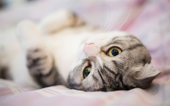 Download wallpapers Scottish Fold cat, cute animals, pets, cats, breeds of cats, laziness concepts