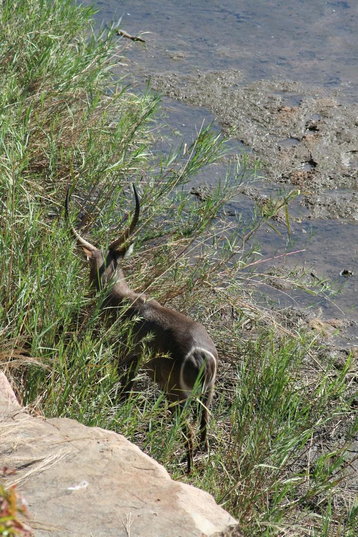 Waterbuck view from deck @Ngwenya Lodge