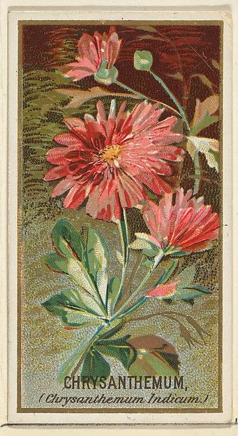 Chrysanthemum (Chrysanthemum Indicum), from the Flowers series for Old Judge Cigarettes