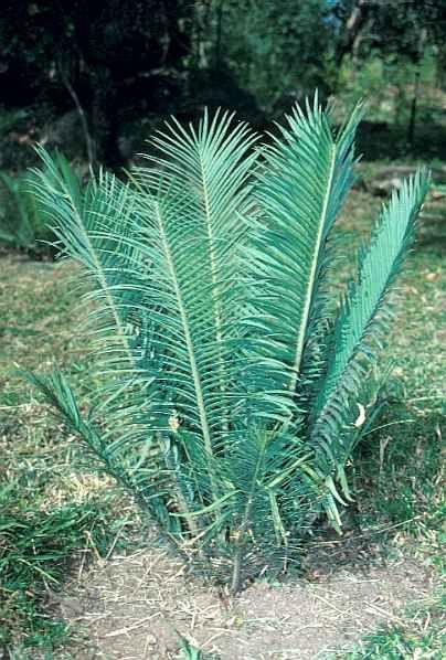 Encephalartos Cerinus            Waxen Cycad           S A no 14,12