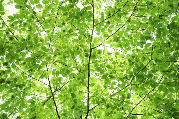 Wall of Fresh Leaves
