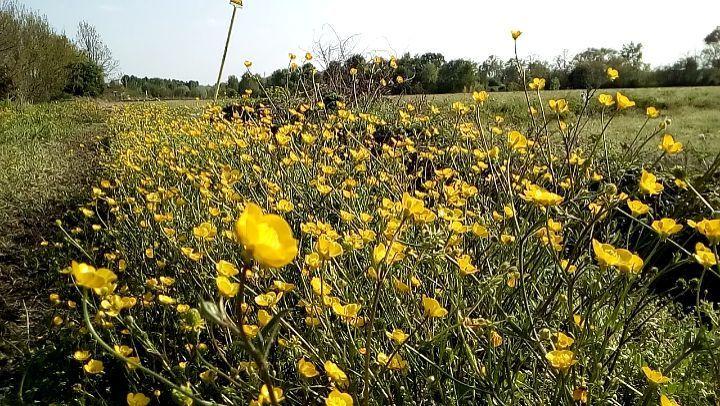 Fiori Gialli In Primavera.Fiori Gialli Caprianodelcolle Primavera Spring Yellow