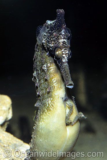 White's Seahorse (Hippocampus whitei) - male giving birth. Babies emerging from males brood pouch. Central New South Wales, Australia. Sequence - C10.
