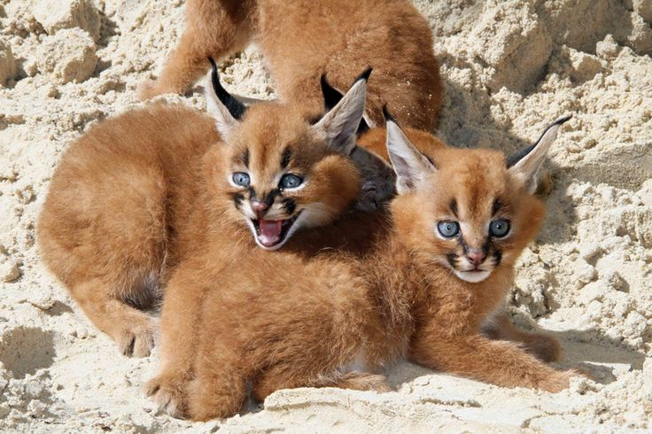 Caracal kittens were born on July 21 at Germany's Zoo Berlin