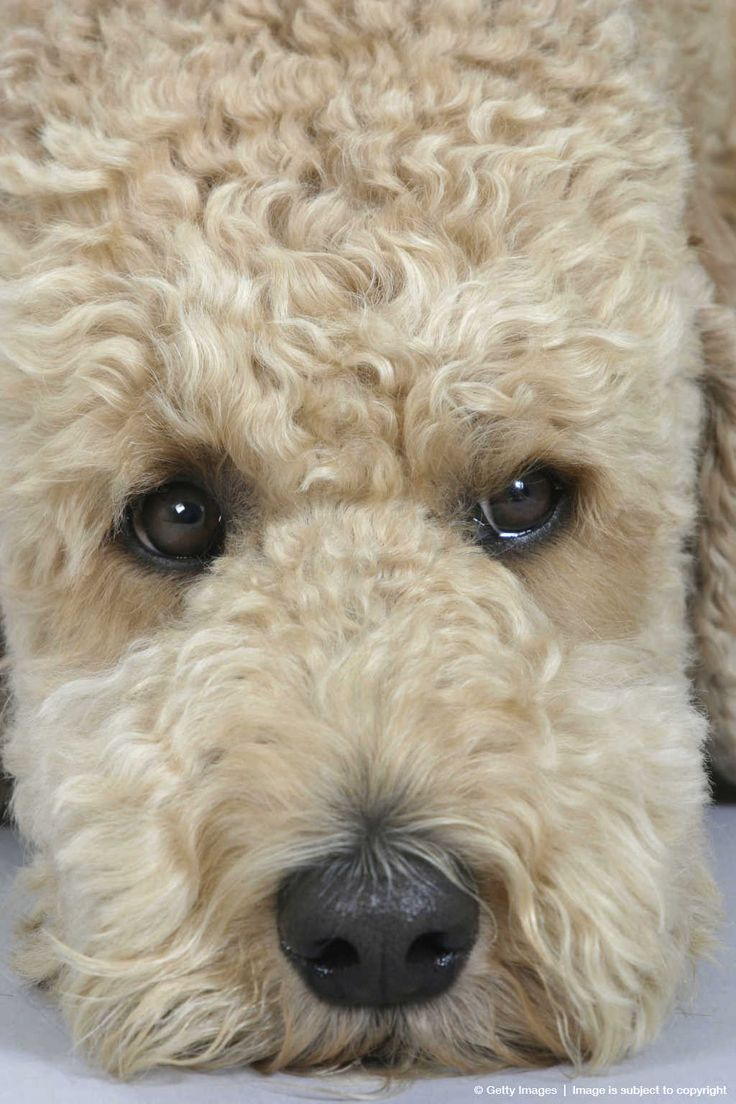 Pin Apricot Standard Poodle Reviews And Photos on Pinterest