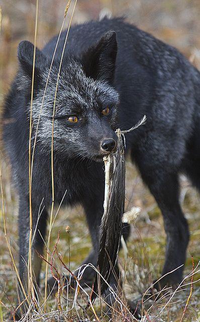 The elusive Black Fox. - Imgur