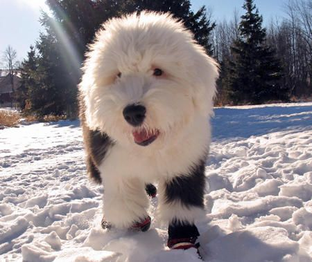 English Sheep Dog  My favorite breed!  Allen doesn't like them. :(