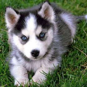 #cachorro #HuskySiberiano #filhote