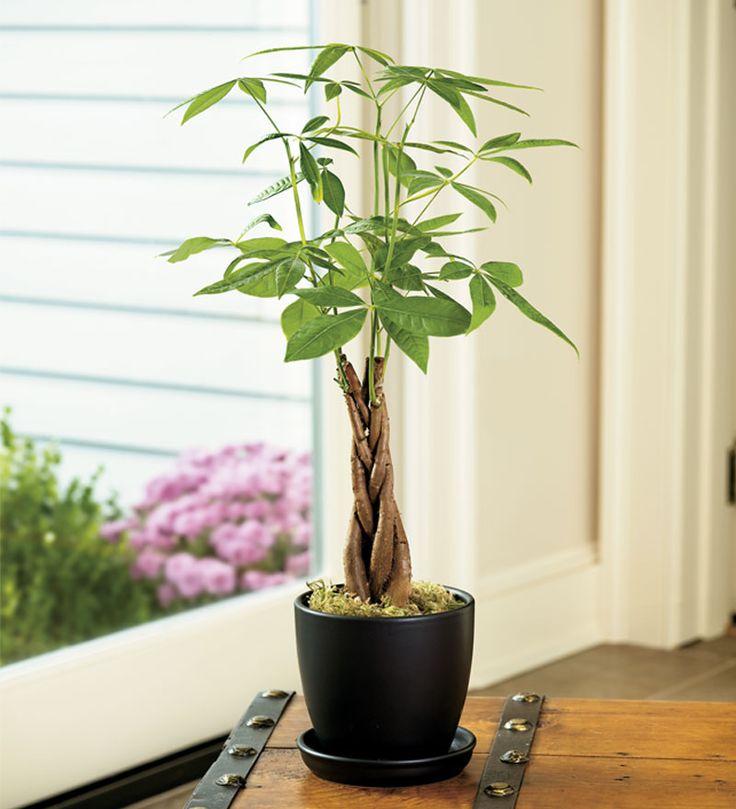 25+ trending Pachira money tree ideas on Pinterest | Indoor tree ...