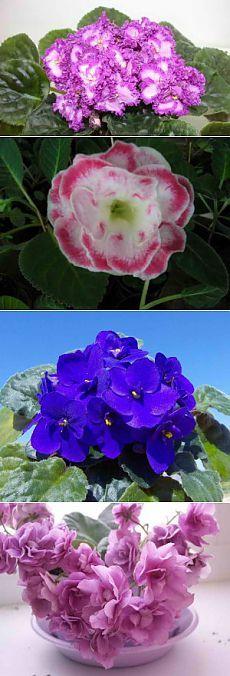 Размножение сенполии, опыт садовода | Дача - впрок