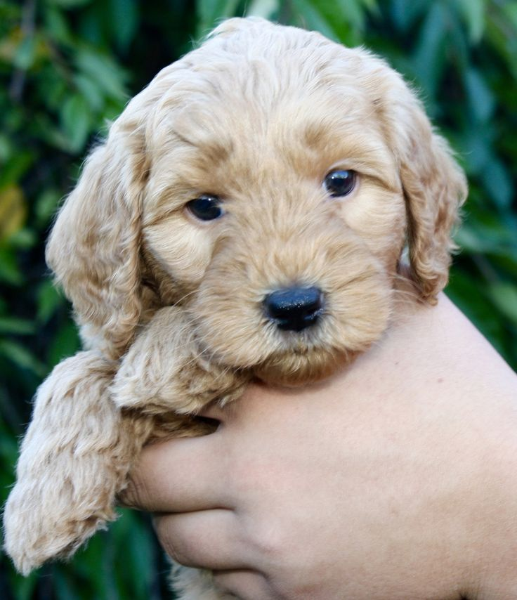 Current Litters. Australian Labradoodles, Medium and Standard size puppies in Washington state near Seattle.
