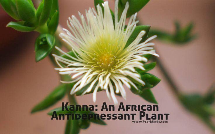 Kanna: An African Antidepressant Plant - @psyminds17