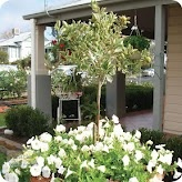 Calamondin Citrus Tree grows well in a pot and looks great as a feature plant in the garden with white petunias.  #http://www.searles.com.au #white #citrus #petunia #plant #garden #flower #pot #australia