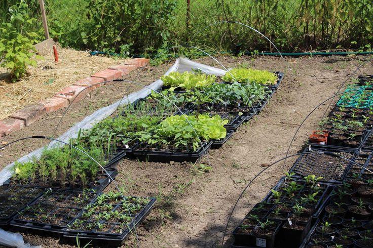 Seedlings - Sadenice