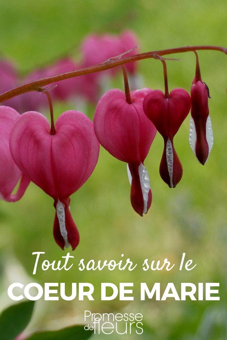 Le Cœur de Marie ou Dicentra spectabilis est une charmante vivace rustique, à fleurs colorées, qui éclaire le jardin au printemps. Découvrez les conseils de nos experts jardin ! #vivace #rose #coeurdemarie #dicentra