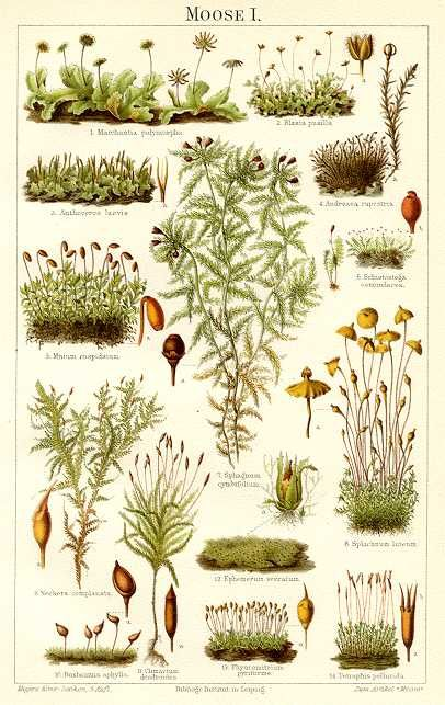 Old illustrations of different moss varieties.