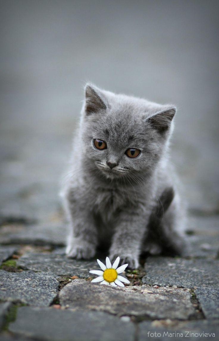 1000 Ideas About Gray Kitten On Pinterest Kittens