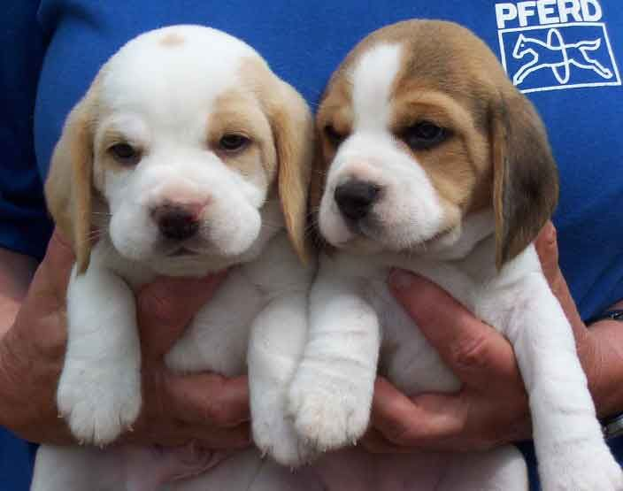 The Beagle Dog Breed: One of the most amiable hounds, the Beagle was bred as a pack hunter and needs companionship