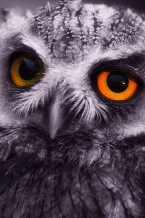 .Hoot Owls, Great Gray Owls, Golden Eye, Whoot Whooo, Eye Owls, Amber Eye, Owls Eye, Beautiful Eye, Beautiful Owls