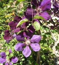 Vines and Climbing Plants for Hot, Dry Climates