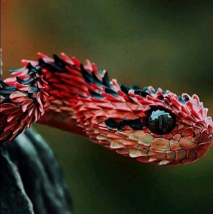 27 best The Atheris Squamigera Viper Venom Snake images on ...