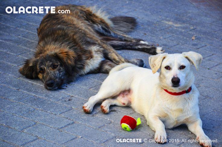 Street dogs - Chersonissos