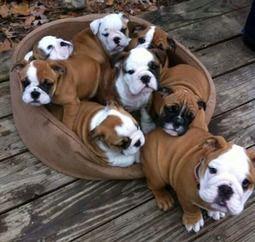 #English #Bulldog #puppies Eight bundles of love!