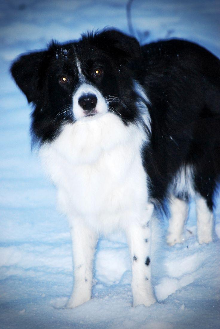#bordercollie #snowdog