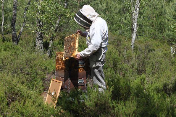 http://www.reporterre.net/Il-faut-sauver-l-abeille-noire