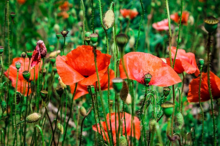 Poppies ! by Barbara  on 500px