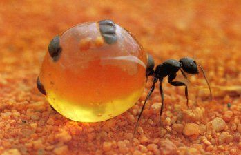 Honey Ant | Australian Bush Tucker – Bush Food