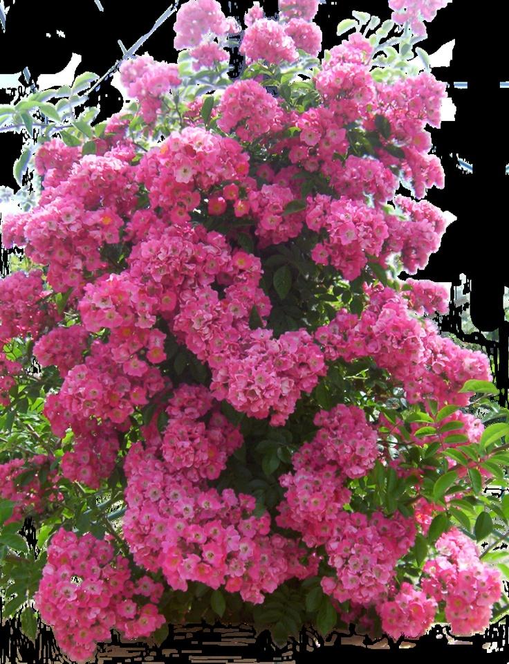 Flowered garden png 04 by *MontvalentStock on deviantART